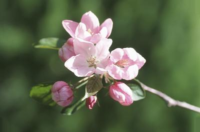 Rosa Äppelblom