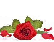 Liggande röd ros